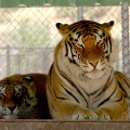 Thriller and Sabu, Michael Jackson's former tigers, at The Shambala Preserver, June 11, 2006