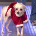 Sharon Lawrence's Christmas Doggie Fashion Show & Adoption Plea