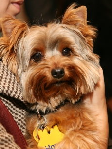 Vanessa Williams' Yorkshire terrier Enzo!
